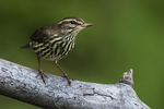 Northern waterthrush in early September fall migration