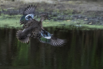 Female blue-winged teal in flight