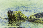 Snapping turtle covered with duckweed