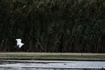 Snowy egret flight in salt marsh habitat