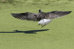 Greater yellowlegs flight in fall migration