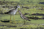 Greater yellowlegs and solitary sandpiper in fall migration