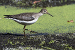 Solitary sandpiper in fall migration