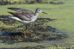 Lesser yellowlegs in fall migration