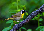 Common Yellowthroat In May Woods