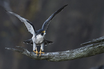 Peregrine falcon in late September