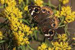 Common buckeye butterfly in fall migration