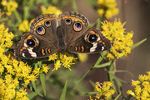 Common buckeye butterfly in fall migration