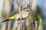 Palm warbler in fall migration