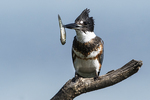Female belted kingfisher with fish
