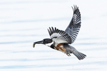 Female belted kingfisher with freshly caught fish