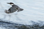Female belted kingfisher in flight