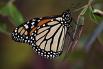 Monarch butterfly in mid-October during fall migration