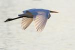 Great egret morning flight