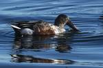 Male northern shoveler in mid-October