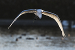 Great egret early morning flight