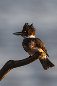 Female belted kingfisher at first light