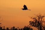 Great egret flight silhouette in orange dawn sky