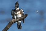 Female belted kingfisher and feather in late October
