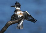 Female belted kingfisher in late October