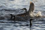 Double-crested cormorant feeding frenzy