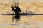 Double-crested cormorant landing at dawn