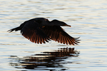 Double-crested flight silhouette at dawn