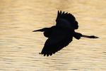 Heron silhouette at dawn