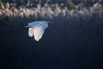 Great egret flight in early light