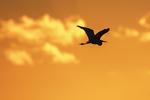 Great egret flight silhouette at sunrise