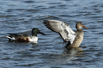 Male and female northern shoveler on pond