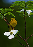Male Yellow Warbler In May Dogwood