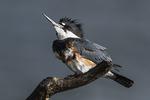Female kingfisher in early November