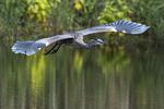 Great blue heron flight in early November