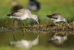 Hudsonian godwit and long-billed dowitcher foraging in fall migration