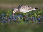 Hudsonian godwit foraging in mid-November