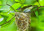 Red-Eyed Vireo At Nest
