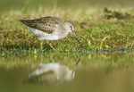 Long-billed dowitcher foraging in fall migration