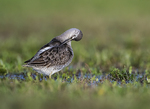 Long-billed dowitcher preening during fall migration