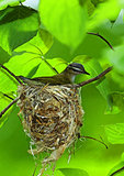 Red-Eyed Vire On Nest In May