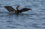 Double-crested cormorant bathing