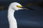 First year snowy egret up close