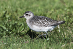 Black-bellied plover in mid-November