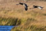 Atlantic Brant flight over autumn salt  marsh