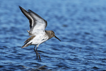 Dunlin leaping after bathing in puddle