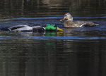 After mating male mallard swims a lap around female