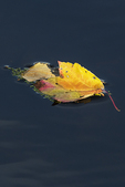 Colorful autumn leaves in pond