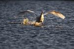 Mute swan landing in early morning