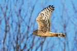 Northern harrier flight in late November