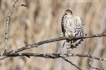Juvenile sharp-shinned hawk stretching in late November